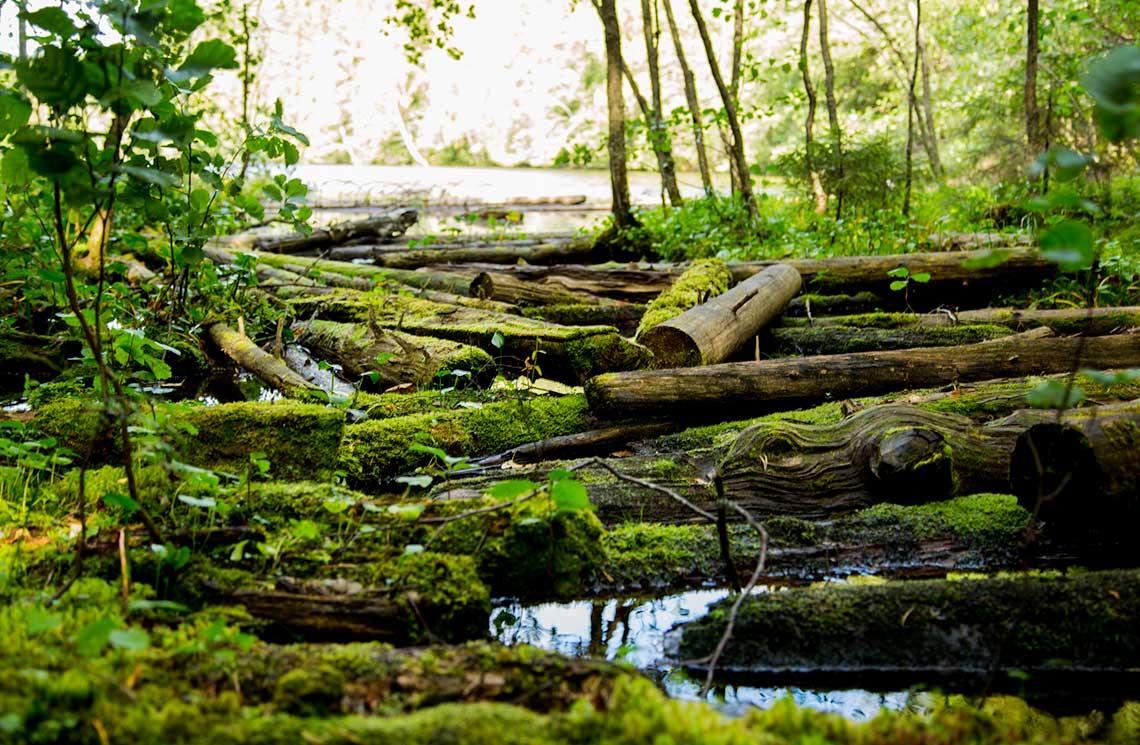 Vanhat tukit ovat juuttuneet jokisuulle ja sammaloituneet siihen.