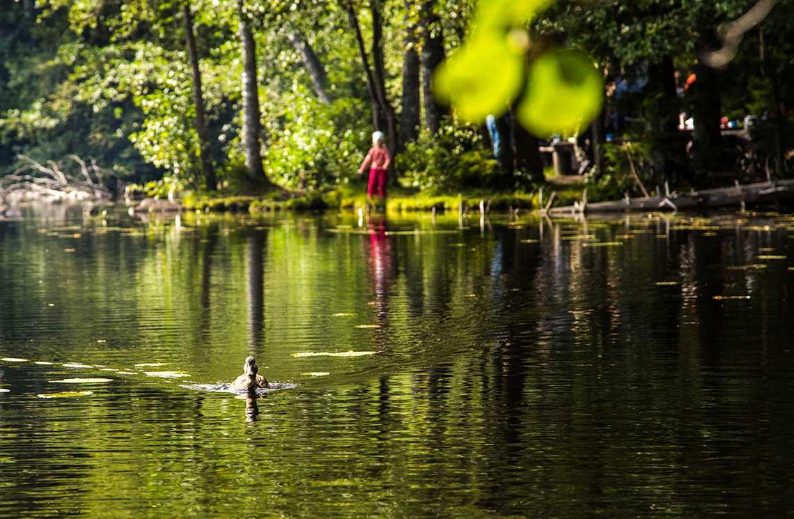 Sorsa uiskentelee kohti kameraa Vuorilammella Kuopiossa.